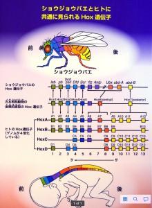 体軸を決定するHox遺伝子は節足動物も脊椎動物も同じ構成