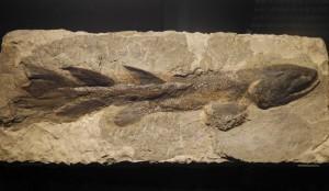 肺魚やシーラカンスの先祖。ユーステノプテロン。
